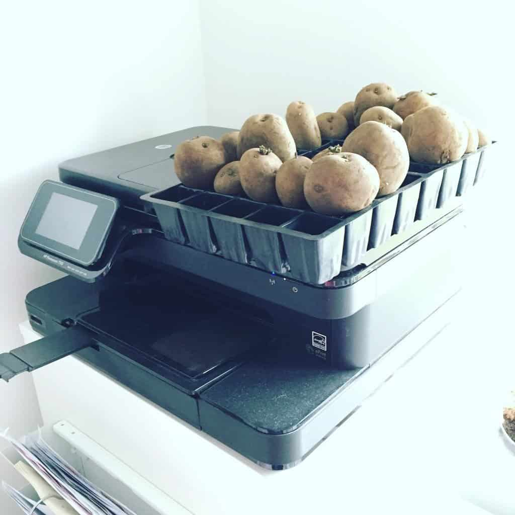 Chitting potatoes in our home office