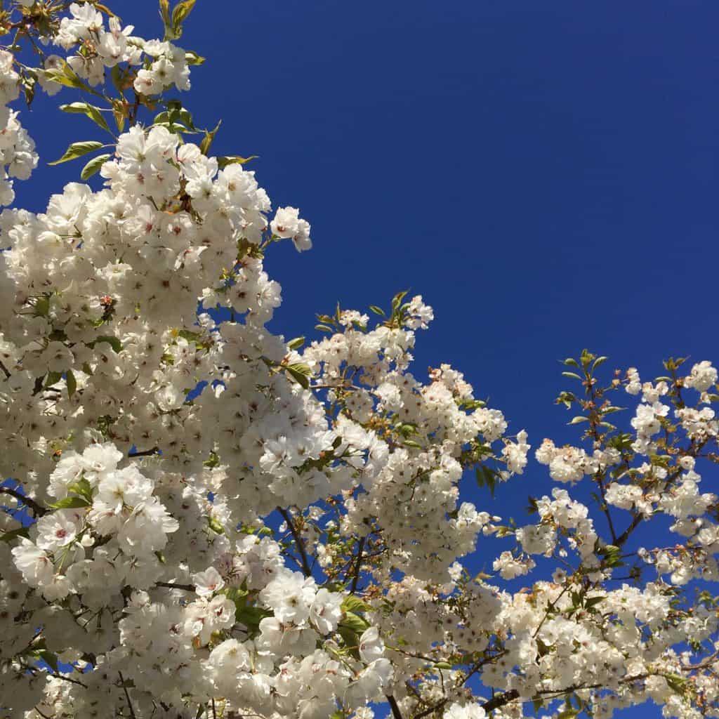 White blossom against a blue sky