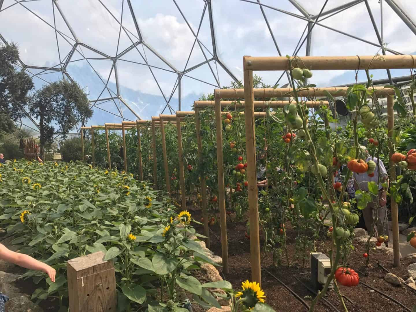 Growing crops at The Eden Project Biome