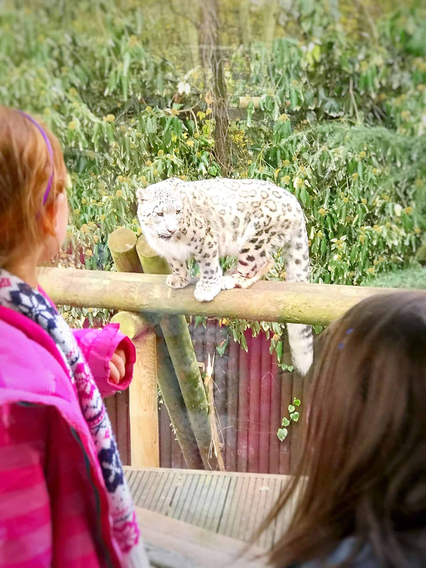 Face to face with a snow leopard