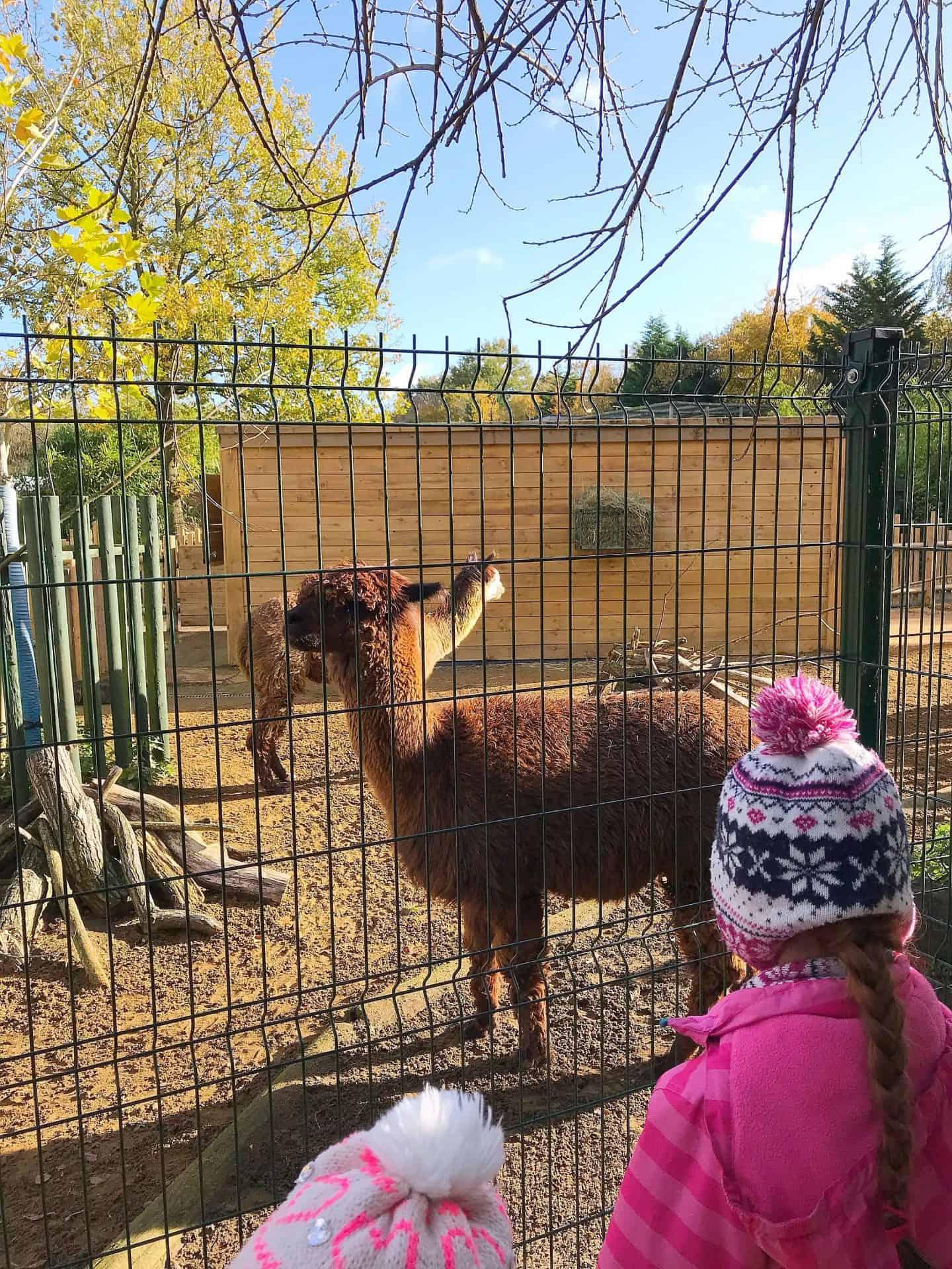 Meeting Llamas