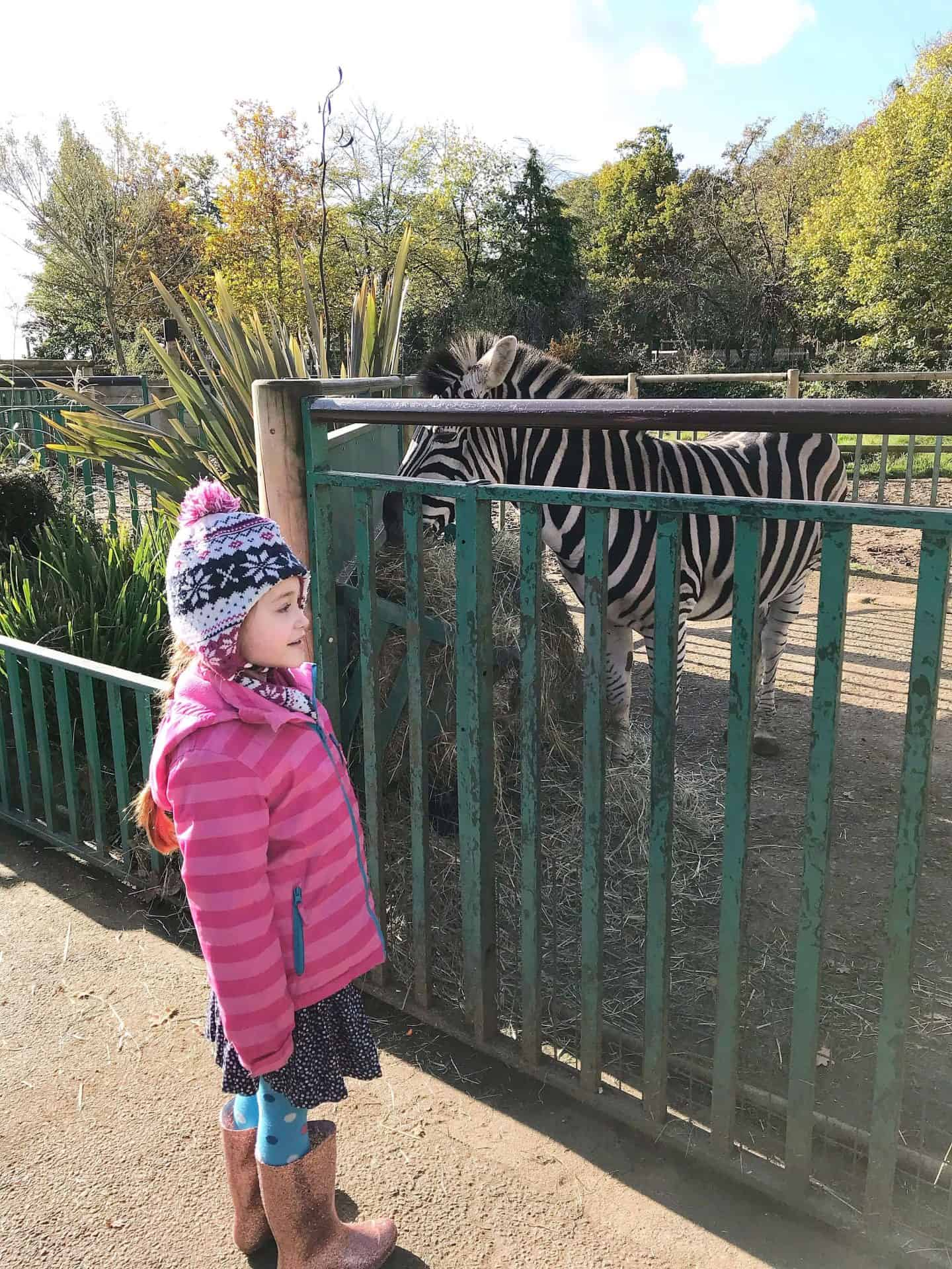 Meeting a real zebra
