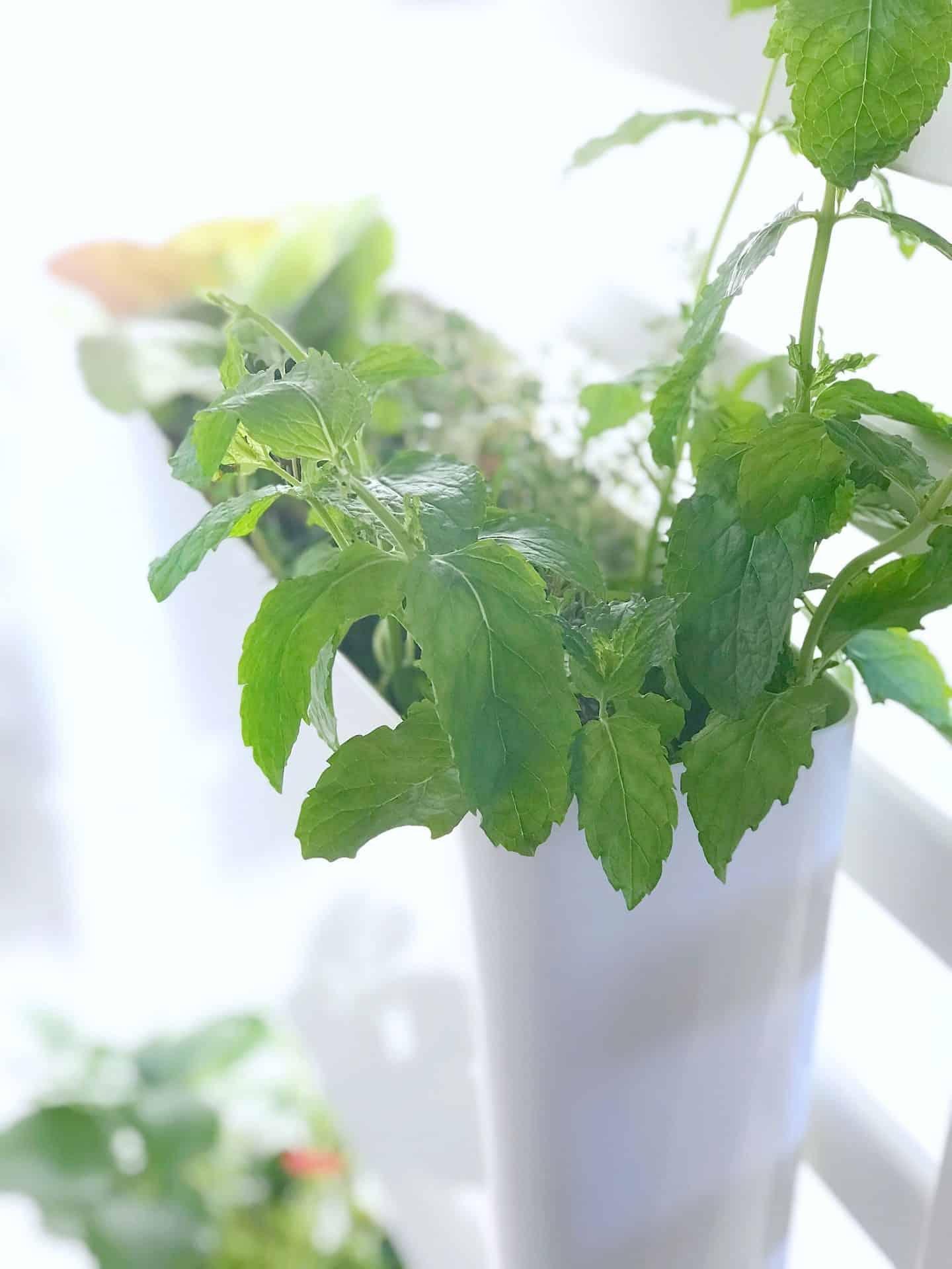 Herbs in an indoor salad garden