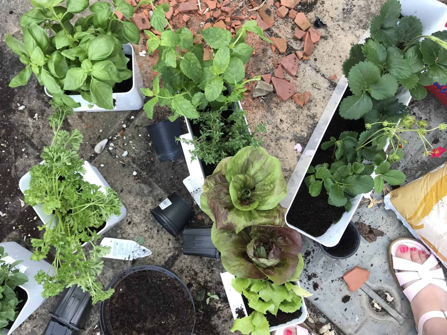 Herbs, lettuce and strawberries planted up ready to move indoors